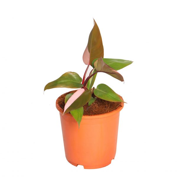 """Philodendron """"Pink Princess"""""""