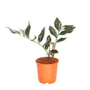 Zingiber malayasianum
