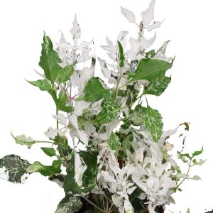 "Alternanthera ""Snow on the Mountain"""