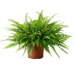 "Nephrolepis ""Boston Fern"""