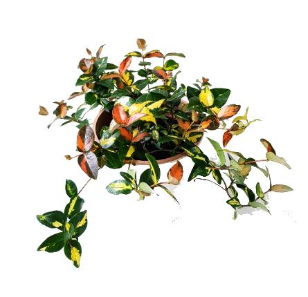 "Trachelospermum""Ogon Nishiki"""