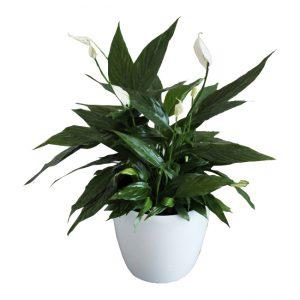 "Spathiphyllum ""Mini Merry"""