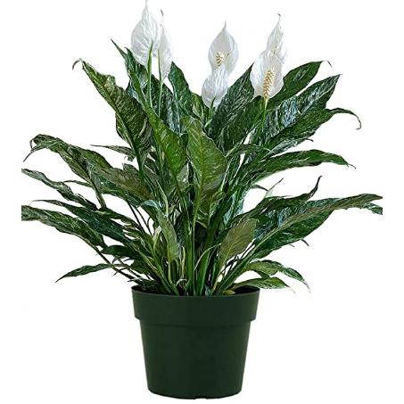 """Spathiphyllum """"Ishimi"""""""