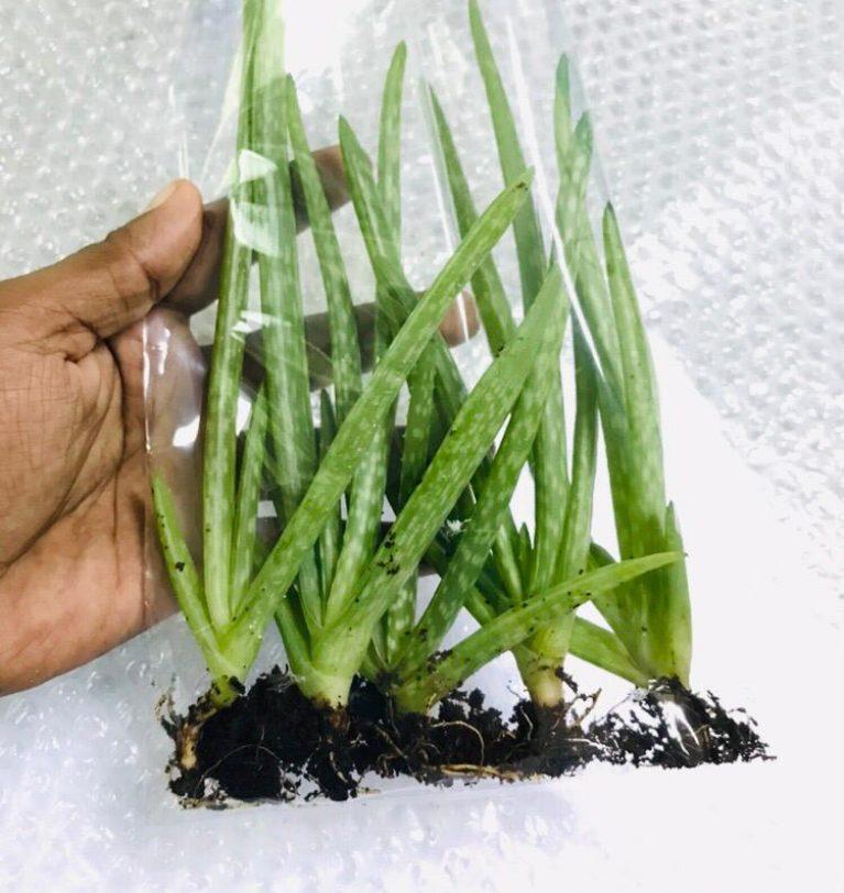 Aloe vera for Japan